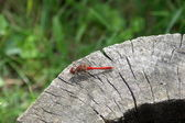 Dragonfly on on a log — Stock Photo