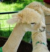 Suri Alpaca — Stock Photo