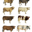 Stock Photo: Cows isolated