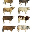 Cows isolated - Stock Photo