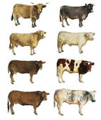 Cows isolated — Stock Photo