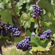 Bunch of grapes - Stockfoto