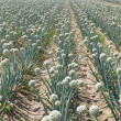 Stock Photo: Onion field
