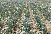 Onion field — Stockfoto