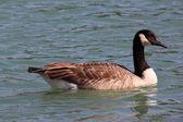 Wild geese — Stock Photo