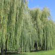 Weeping willow — Stock Photo #9273537