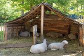 Sheep in a sheepfold — Stock Photo