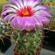 Stock Photo: Cactus flower