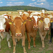 Stock Photo: Herd of cows