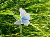 Butterfly on grass Blue — Stock Photo