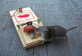 Dead mouse in a trap — Stock Photo