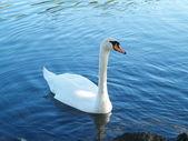 Singular Swan — Stock Photo