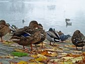Duck in the Morning — Stock Photo