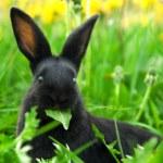 Black rabbit in green grass — Stock Photo #10500369