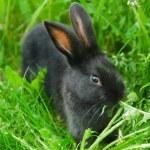Black rabbit in green grass — Stock Photo #10500388