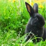 Black rabbit in green grass — Stock Photo #10500399