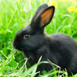 Black rabbit in green grass — Stock Photo #10500423