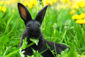 Black rabbit in green grass — Stock Photo