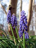 Grape Hyacinth Bells — Stock Photo