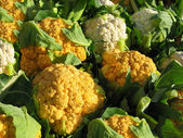 Fresh Cauliflower Crop — Stock Photo