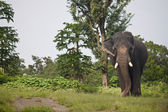 Asian elephant — Stock Photo