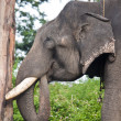 Captured asian elephant — Stock Photo