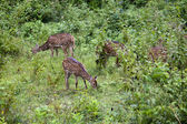 дикие олени — Стоковое фото
