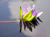 Lotus and reflection — Stock Photo