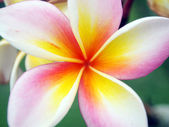 Close up frangipani flower — Stock Photo
