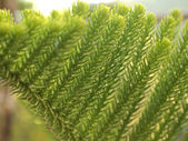 The leaves of pine — Stock Photo
