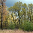 Poplar trees in spring. — Stock Photo