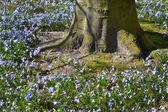 Wild hyacinth or Boshyacint. — Stock Photo