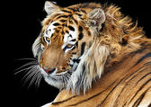 Closeup bengal tiger isolated background studio shooting — Stock Photo