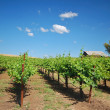 Royalty-Free Stock Photo: Vineyard Landscape