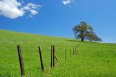Oak tree in spring — Stock Photo
