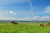 Cattle — Stock Photo