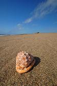 Seashell on the beach — Stock Photo