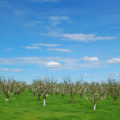 Orchard in springtime — Stock Photo #8849831