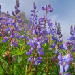 Lupine — Stock Photo #8851680