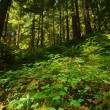 Verdant Pacific Northwest forest — Stock Photo #8851771