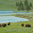 Yellowstone Bison — Stock Photo