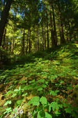 Verdant Pacific Northwest forest — Stock Photo