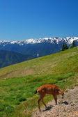 Jelen v horách — Stock fotografie
