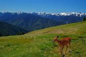 Rotwild in den bergen — Stockfoto