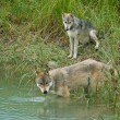Grey Wolves — Stock Photo #8861012