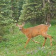 Stock Photo: Deer in mountain meadow