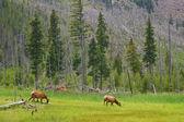 Deer in Yellowstone — Стоковое фото