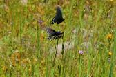 Butterflies in a meadow — Stock Photo