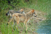 Rocky Mountain Grey Wolves — Stock Photo
