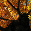 Stock Photo: Tree in Autumn